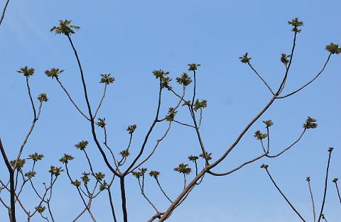カラスザンショウの新芽が