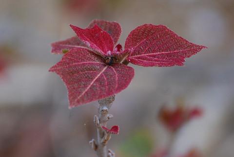 アカメガシワの新芽がきれい