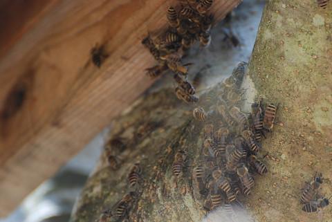ミツバチの分蜂か?