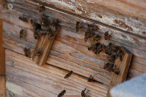 みミツバチの元の巣
