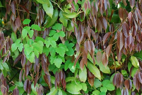 アラカシの若葉は赤っぽい