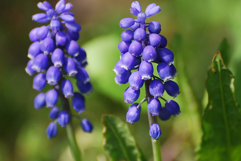 ムシカリの花は