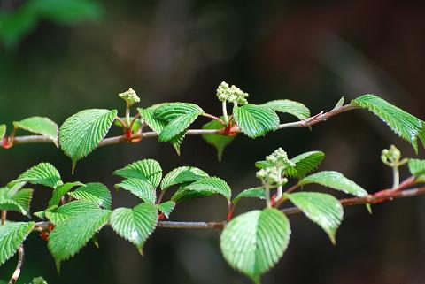 コバノガマズミに花芽が