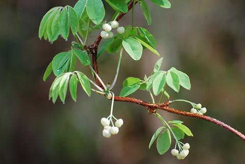 白いゴヨウアケビの花