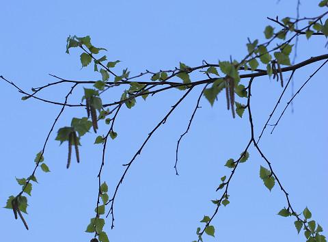 シラカバの雄花が