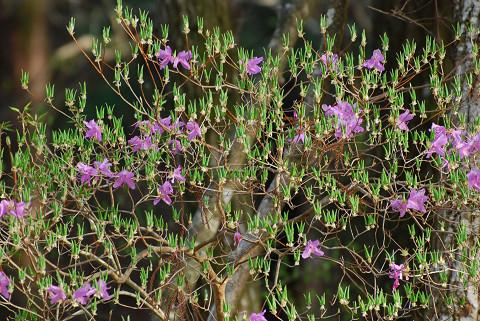 コバノミツバツツジの花と新芽