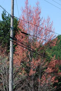 ハナノキの樹木が