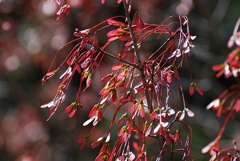 ハナノキの花と葉1