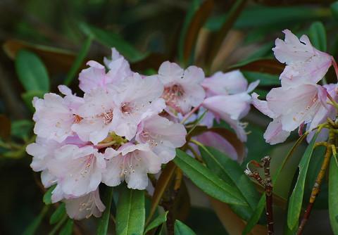 ホソバシャクナゲが咲いていた