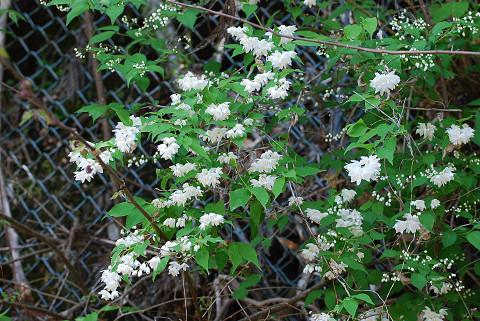 ウツギの白い花が