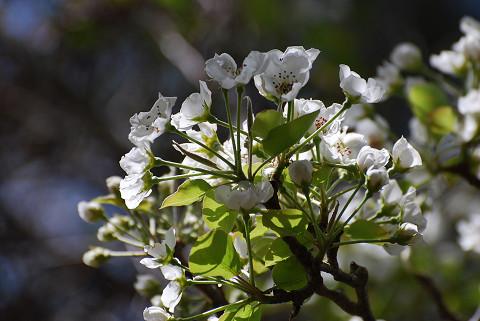 ズミの花アップ