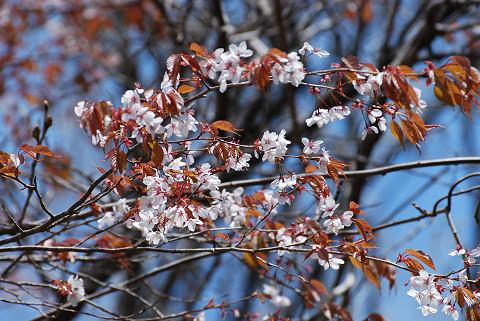 ヤマザクラの花が美しい