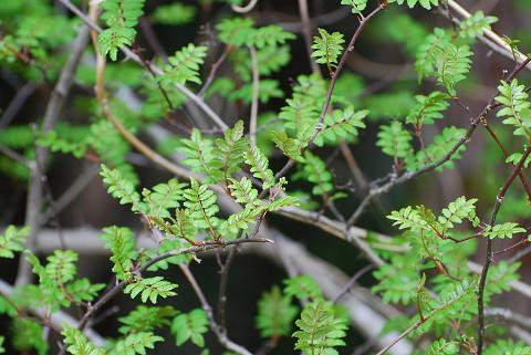 リズミカルなサンショウの葉