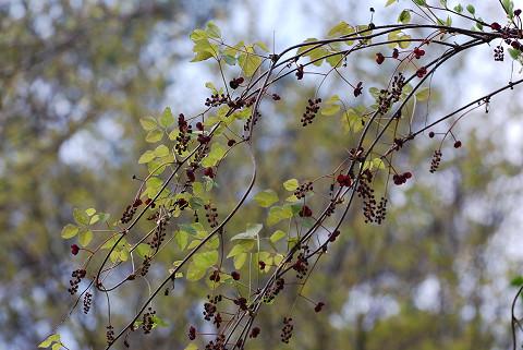 ミツバアケビの花は1