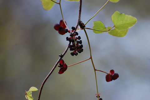 ミツバアケビの花は2