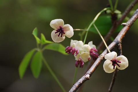ゴヨウアケビの花がきれい