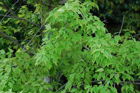 ハナノキの葉は