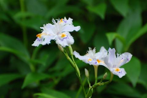 シャガの花は美しい