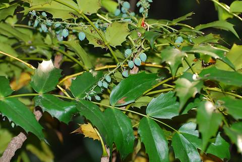 ヒイラギナンテンの葉と実が