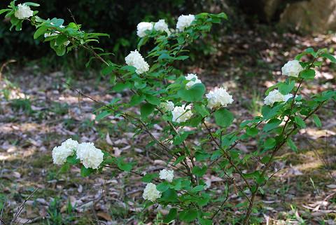 オオデマリの白い花は