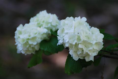 オオデマリの白い花2