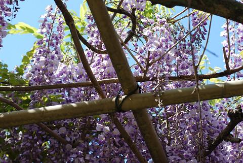 茨坪の庭のフジ満開