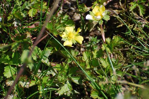 ヘビイチゴの黄色い花