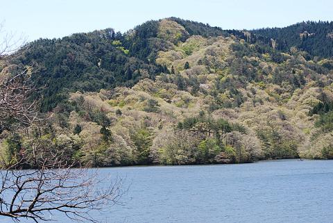 三河湖のコナラの新緑