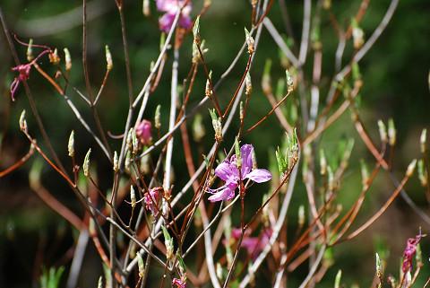 モチツツジの花と新芽