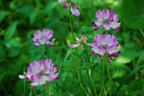レンゲの花は美しい