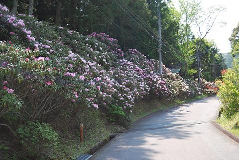 ホソバシャクナゲの道