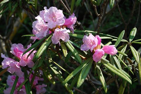 ホソバシャクナゲ一つの花