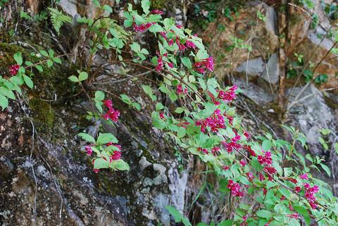 ヤブウツギの花が咲いていた