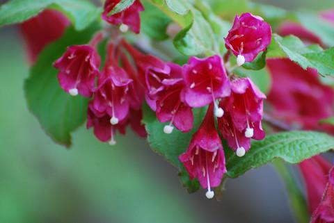 ヤブウツギの花をアップ
