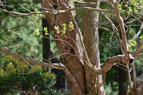 クロモジの巨木が
