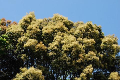 ツブラジイの花は