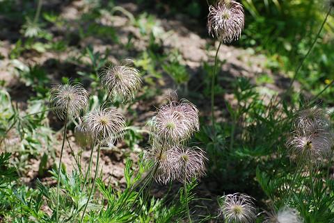 オキナグサの花のあと