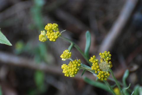 ハハコグサ花がきれい