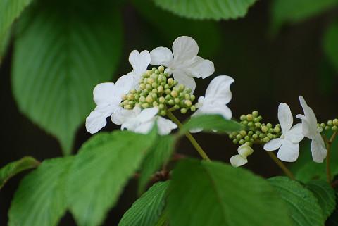 ヤブデマリの装飾花とつぼみ