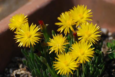 サンジソウの黄色い花