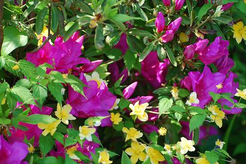 サツキとヤマブキの花