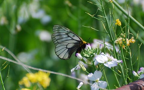 ウスバシロチョウが花に1