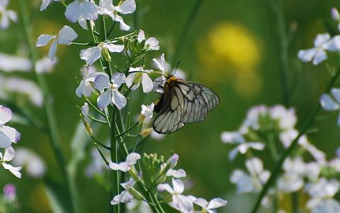 ウスバシロチョウが花に2