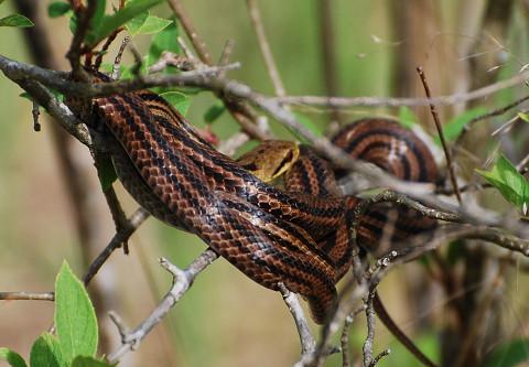 シマヘビが樹上で昼寝