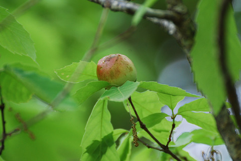 珍しいナラメリンゴフシ