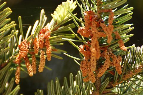 モミの雄花がオレンジ色