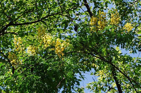 ジャケツイバラの黄色い花