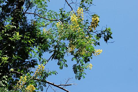 ジャケツイバラの黄色い花2