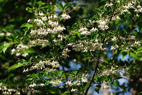 エゴノキの花のすごい数