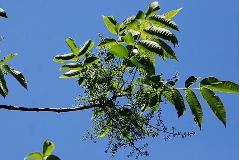 ヤマハぜの大きな花序が